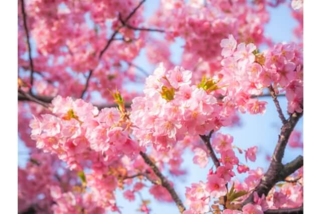 福井市のおすすめウォーキングコース!日本一の桜並木を歩く